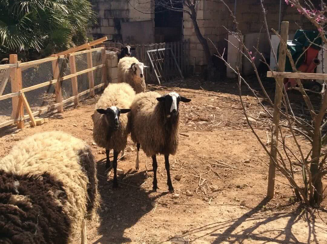 Sheep and a ram at Frate Jacoba House